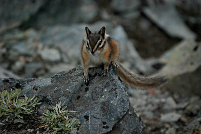 Townsend's Chipmunk, Mt. Rainier, WA