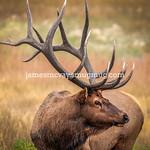 Elk at RMNP