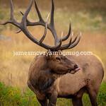 Bull Elk at RMNP