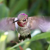 Anna's Hummingbird<br /> 15 OCT 2013