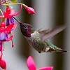 Anna's Hummingbird<br /> 01 OCT 2013