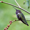 Anna's Hummingbird<br /> 30 SEP 2013