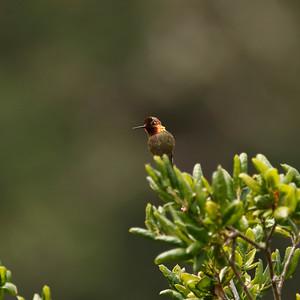 Anna's Hummingbird, Prisoner's Harbor