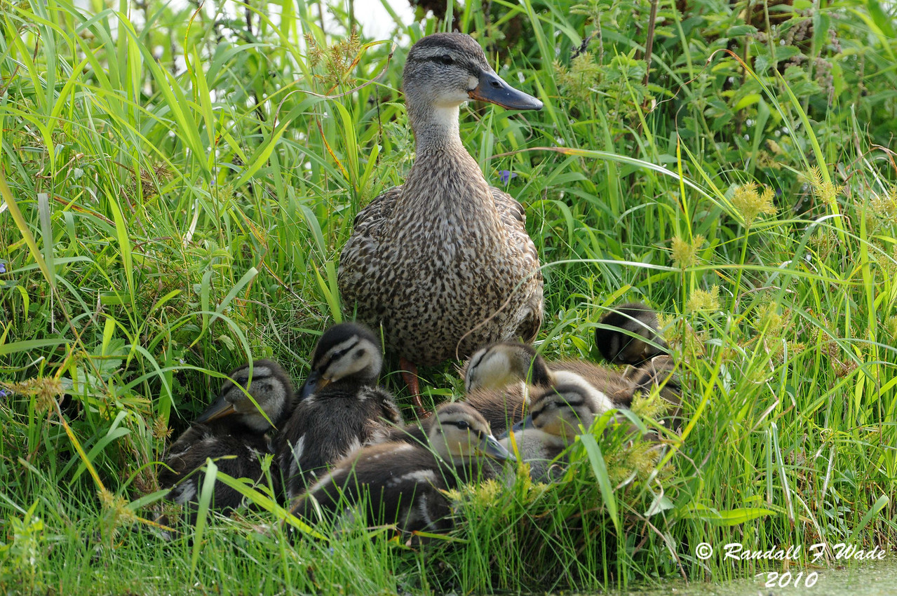 Blue-winged Teal Family