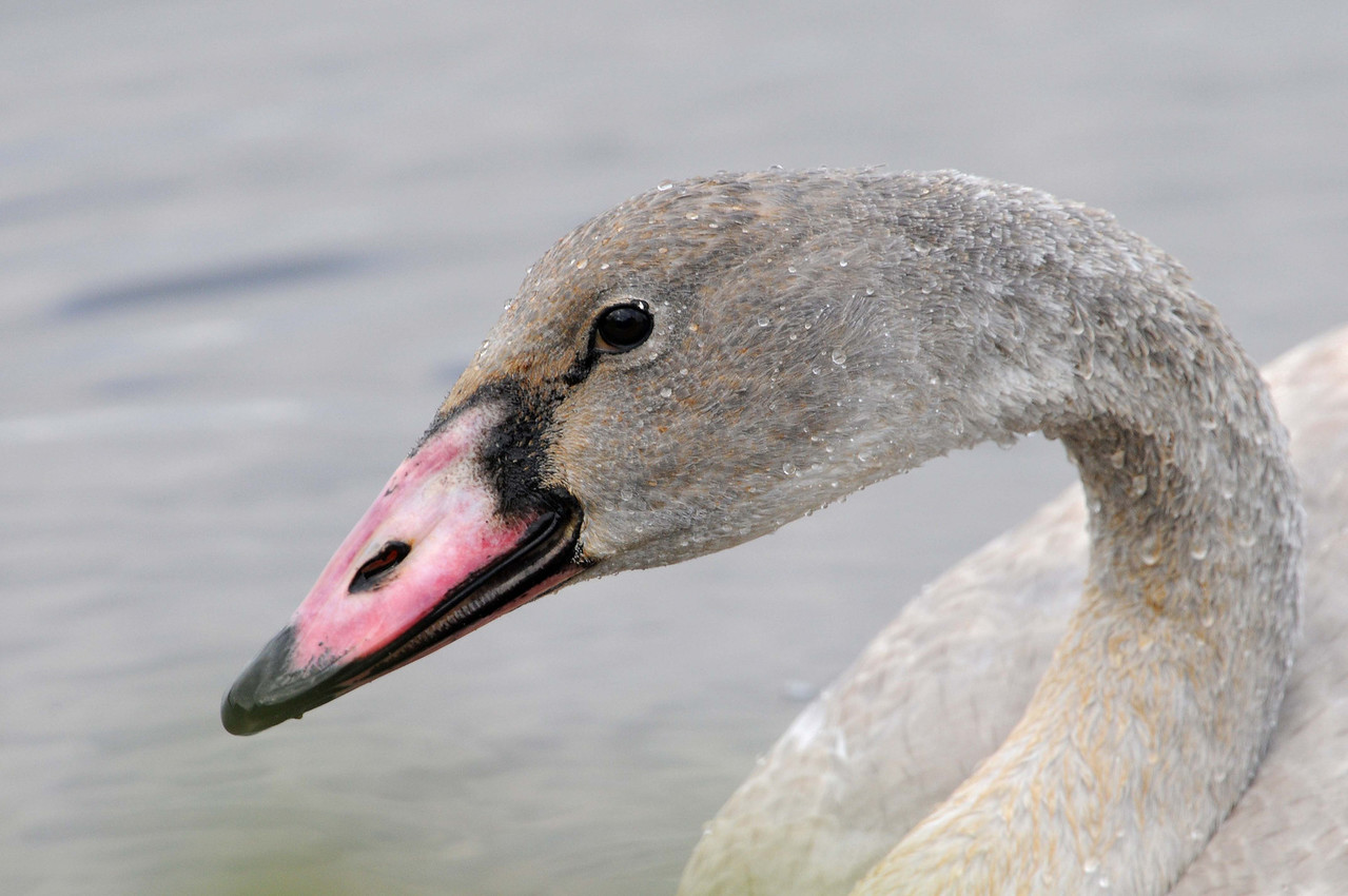 Trumpeter Swan, Immature