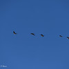 Greater White-fronted and Canada Geese