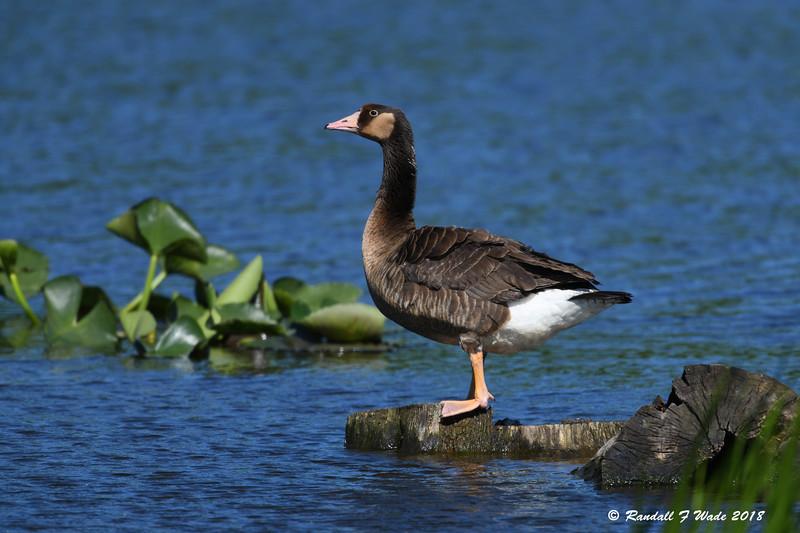 Canada X Greylag Goose