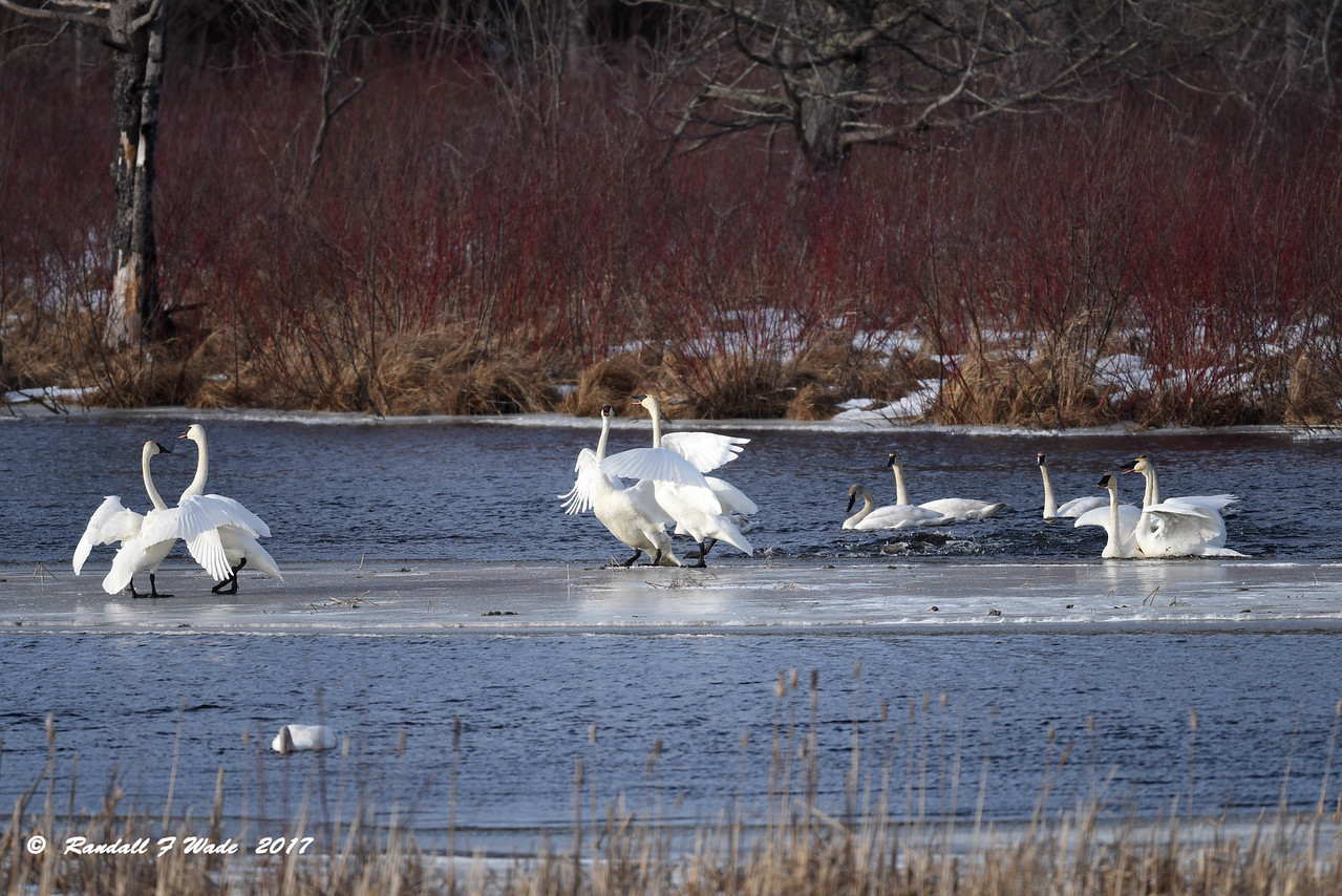 Trumpeter Swans, The Prelude