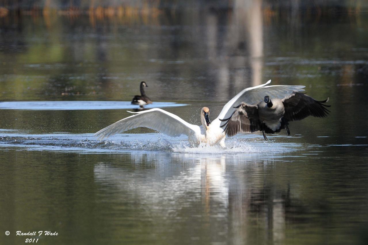 Trumpeter Swan Chasing Canada Goose