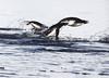Adellie Penguin Antarctic