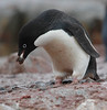 Adelie Penguin Antarctic