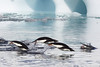 Adelie Penguin Antarctic Porpoising Flying