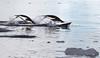Adelie Penguin Antarctic Porpoising Flying