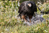 Striated Caracara.  Also known as Johnny Rook.  Dining on what used to be a goose.