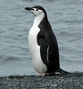 Chinstrap Penguin Antarctic