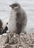 Chinstrap Penguin Antarctic Chick