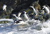 Chinstrap Penguin Antarctic Diving