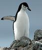 Chinstrap Penguin Antarctic
