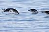 Chinstrap Penguin Antarctic Porpoising