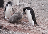 Chinstrap Penguin Antarctic Feeding