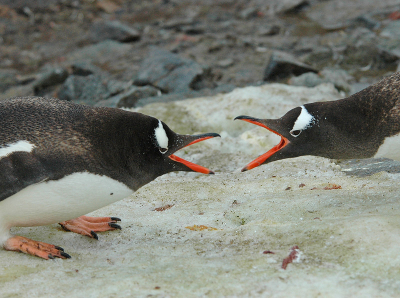 Gentoo Penguin Antarctic