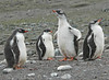 Gentoo Penguin Antarctic Chick