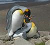 Mating King Penguin Adults South Georgia Island
