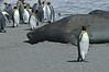 Elephant Seal with King Penguin Adults. South Georgia Island