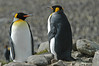 King Penguin Adults in front of THOUSANDS. South Georgia Island