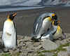 Mating King Penguin Adult with Bystander South Georgia Island