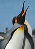 King Penguin Adult South Georgia Island