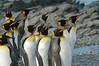 King Penguin Adults South Georgia Island