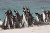 Magellenic Penguin Falkland Islands-5