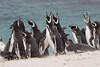 Magellenic Penguin Falkland Islands-5