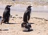 Magellenic Penguin Falkland Islands