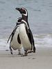 Magellenic Penguin Falkland Islands-14