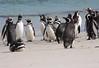 Magellenic Penguin Falkland Islands-15
