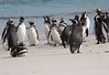 Magellenic Penguin Falkland Islands-15