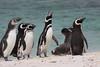 Magellenic Penguin Falkland Islands-4