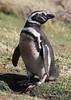 Magellenic Penguin Falkland Islands-2