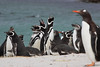 Magellenic Penguin Falkland Islands-3