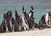 Magellenic Penguin Falkland Islands-6