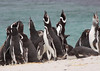 Magellenic Penguin Falkland Islands-6