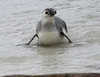 Magellenic Penguin Falkland Islands-8