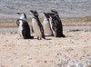 Magellenic Penguin Falkland Islands-1