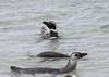 Magellenic Penguin Falkland Islands-7