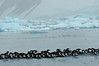AntarcticShag (3)