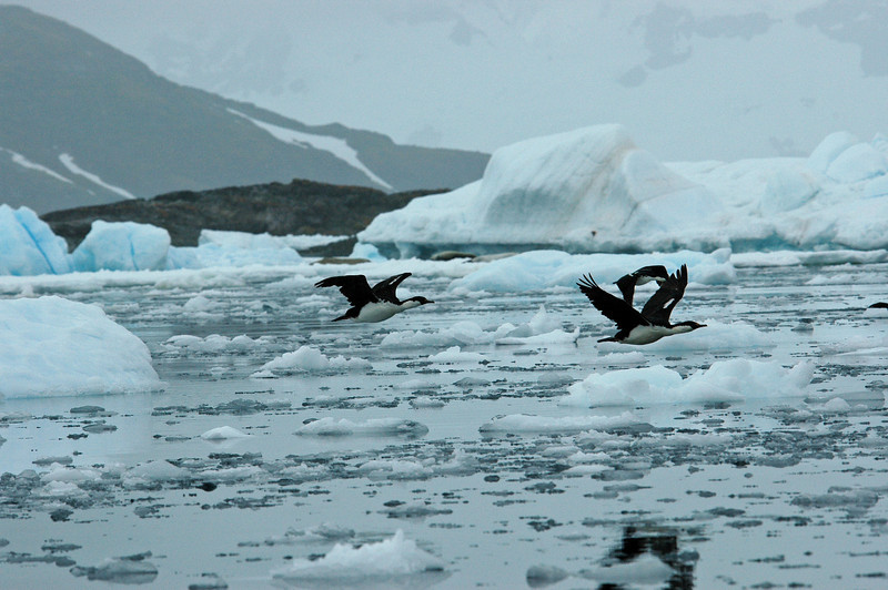 AntarcticShag (1)