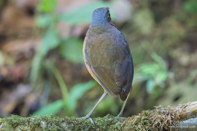 Giant Antpitta - Mindo, Ecuador
