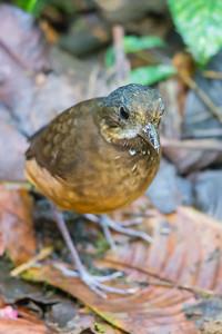 Moustached Antpitta - Record - Refugio Paz de las Aves, Ecuador